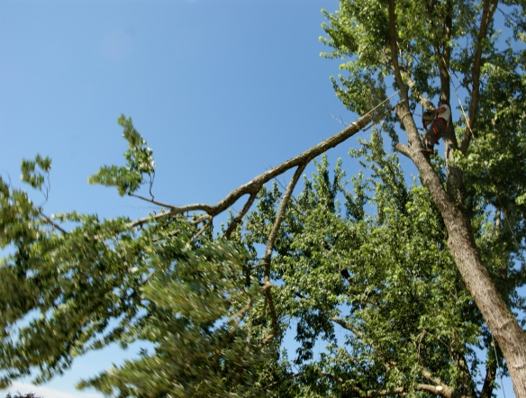 Limb falling from high up in tree